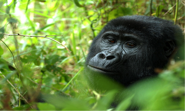 Gorilas no Uganda